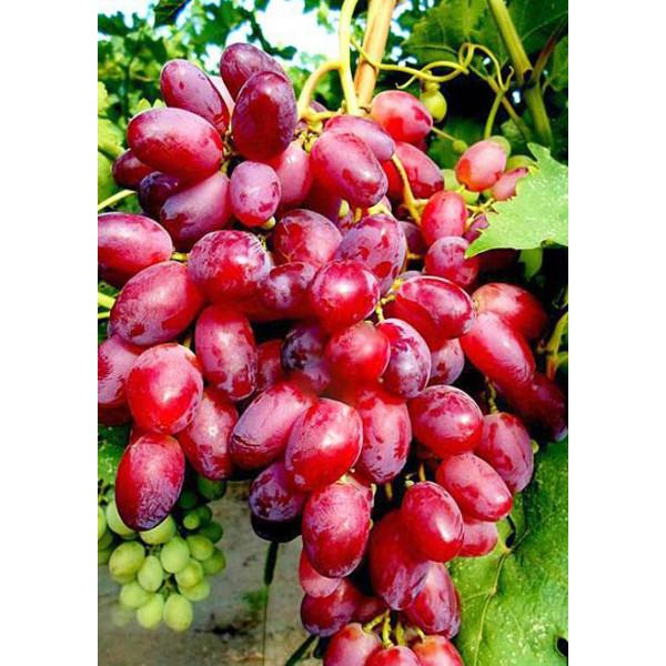 Виноград Ризамат