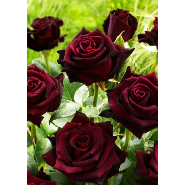 Роза чайно-гибридная Королевство грез