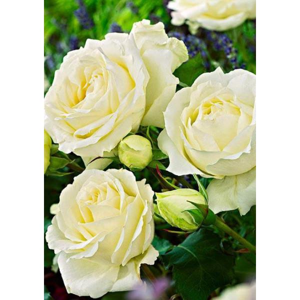 Роза чайно-гибридная Боинг