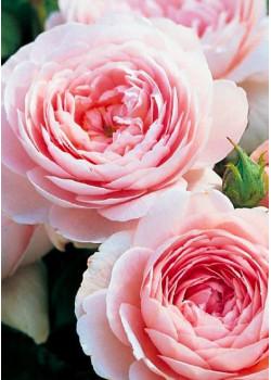 Роза английская Виктория
