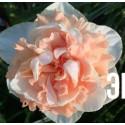 """Нарцисс """"Flower Surprise"""" 3шт в упаковке"""